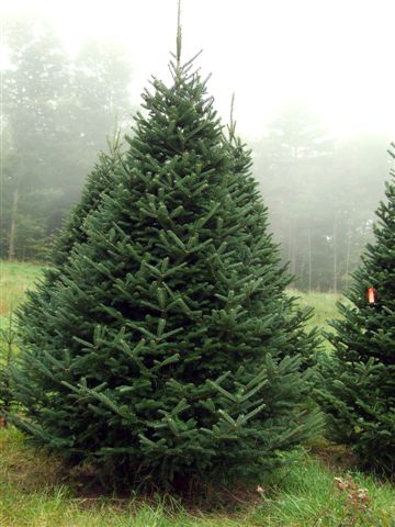 Christmas Tree Types.Christmas Trees At Mcclure S Tree Nursery