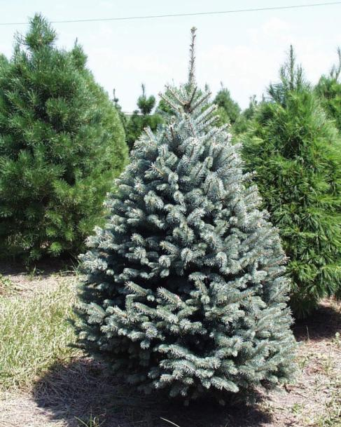 blue spruce a colorado blue spruce has a nice pyramidal shape with strong limbs that can hold heavy ornaments the blue spruce is known for its lovely blue